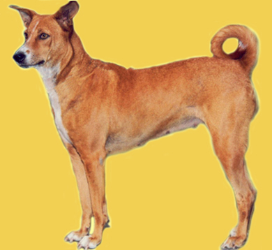 Adopt The Dog In India